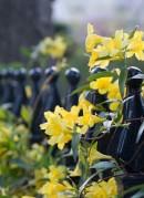 yellow-flowers-gate