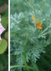 pink-rose-orange-lily