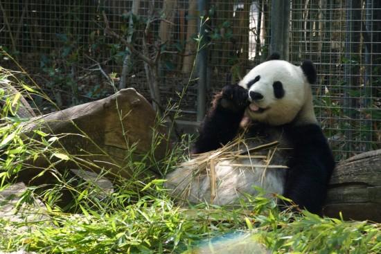 Panda at the San Diego Zoo