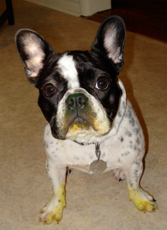 French bulldog after she ate/destroyed a yellow highlighter