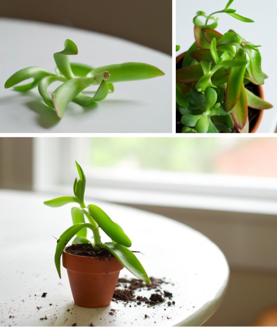 succulent propagation how-to photos