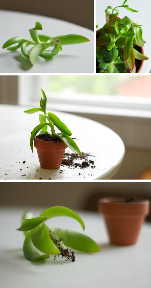 how to propagate a succulent photos