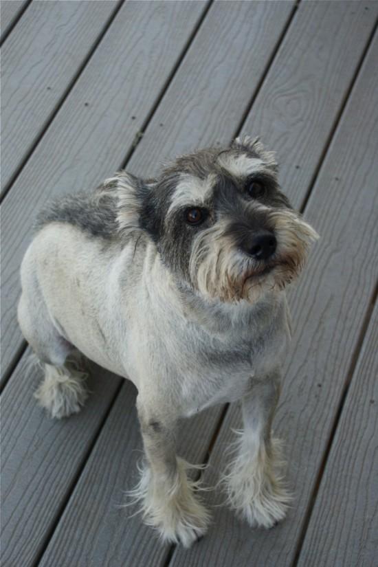 Schnauzer dog with mohawk