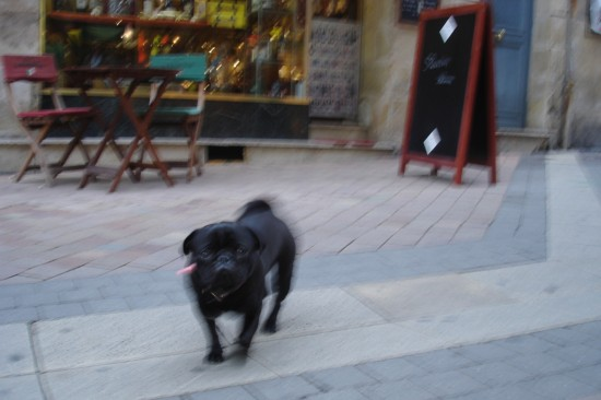Black pug in Bordeaux