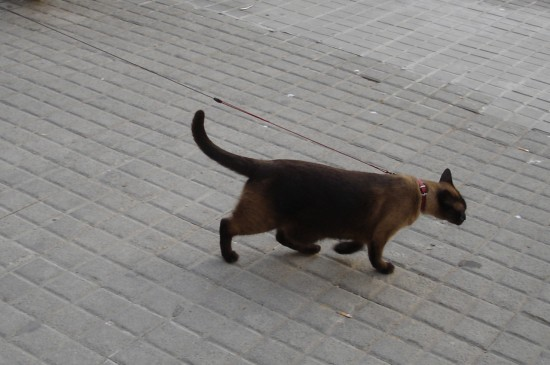 cat on a leash in barcelona