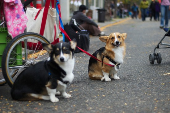Two corgis at Ballard's farmers market