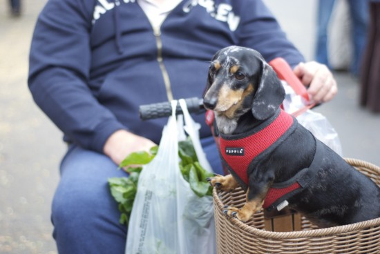dachshund in basket in ballard