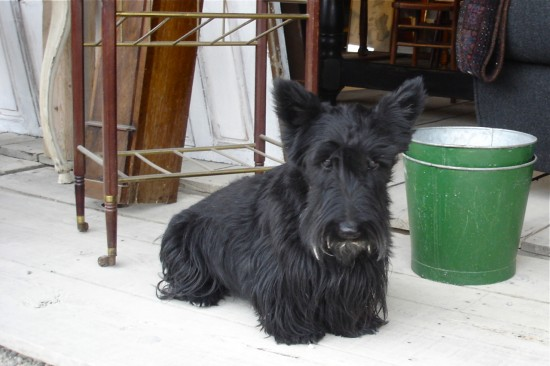 Scottie dog in Bordeaux