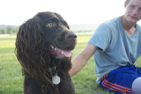 cocker spaniel sitting in field