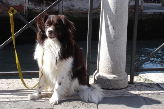 spaniel in Venice