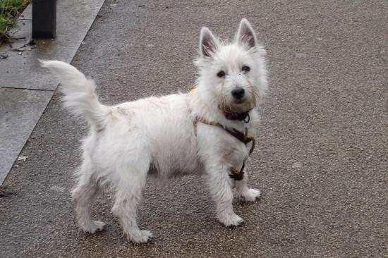 white dog in London
