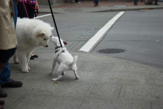 white dogs at inersection in Seattle