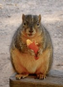 Fat squirrel eating pumpkin