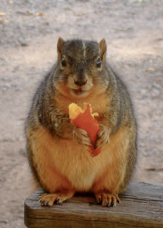 Fat squirrel eating pumpkin