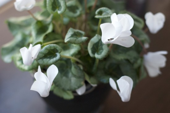 cyclamen with white flowers
