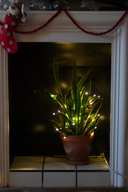LED Christmas lights on sansevieria in fireplace