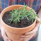 potted-rosemary