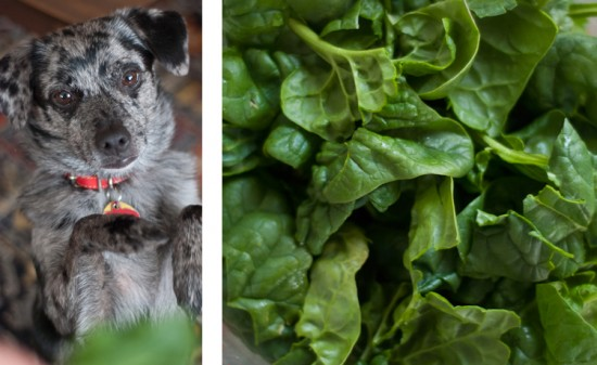 dog begging for spinach