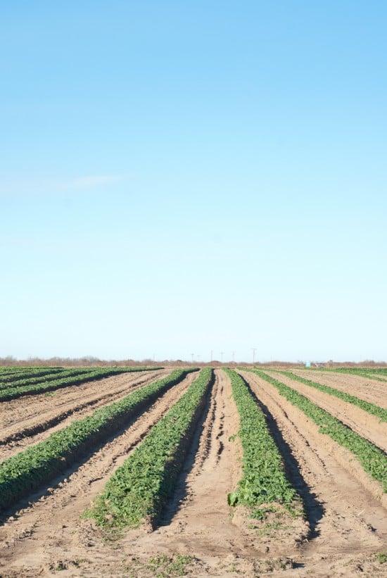PeachCrest Farms' spinach field