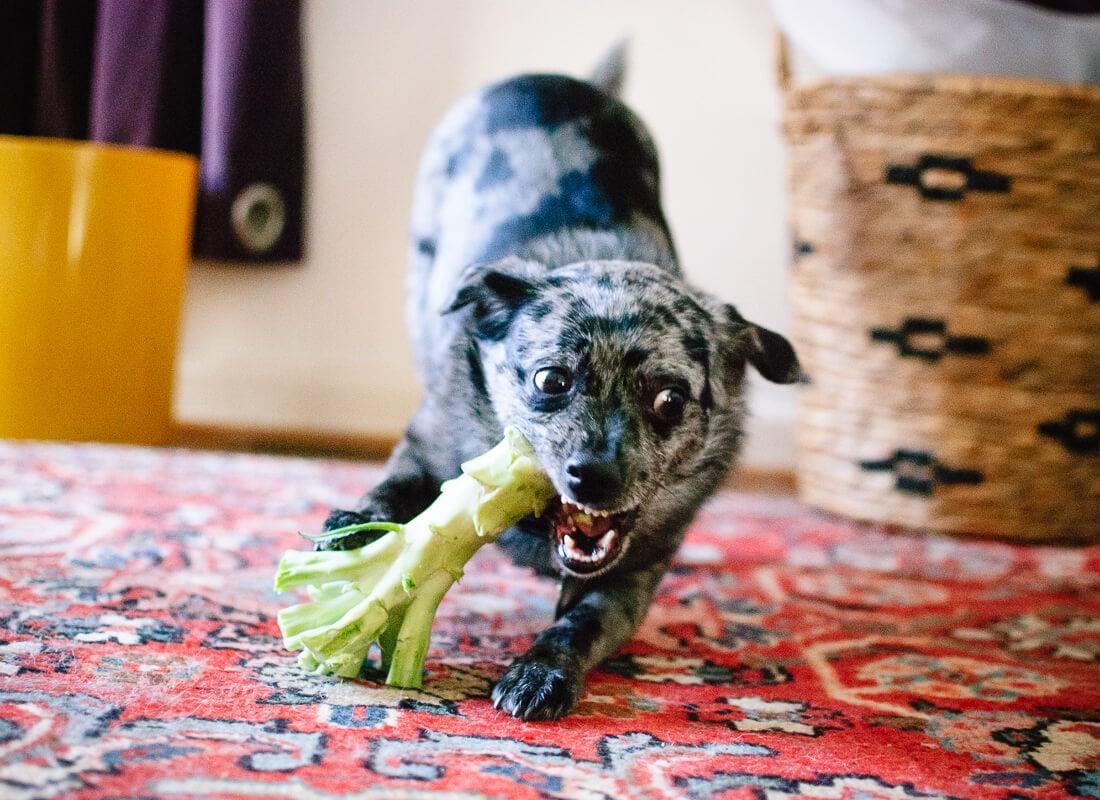 dog eating broccoli